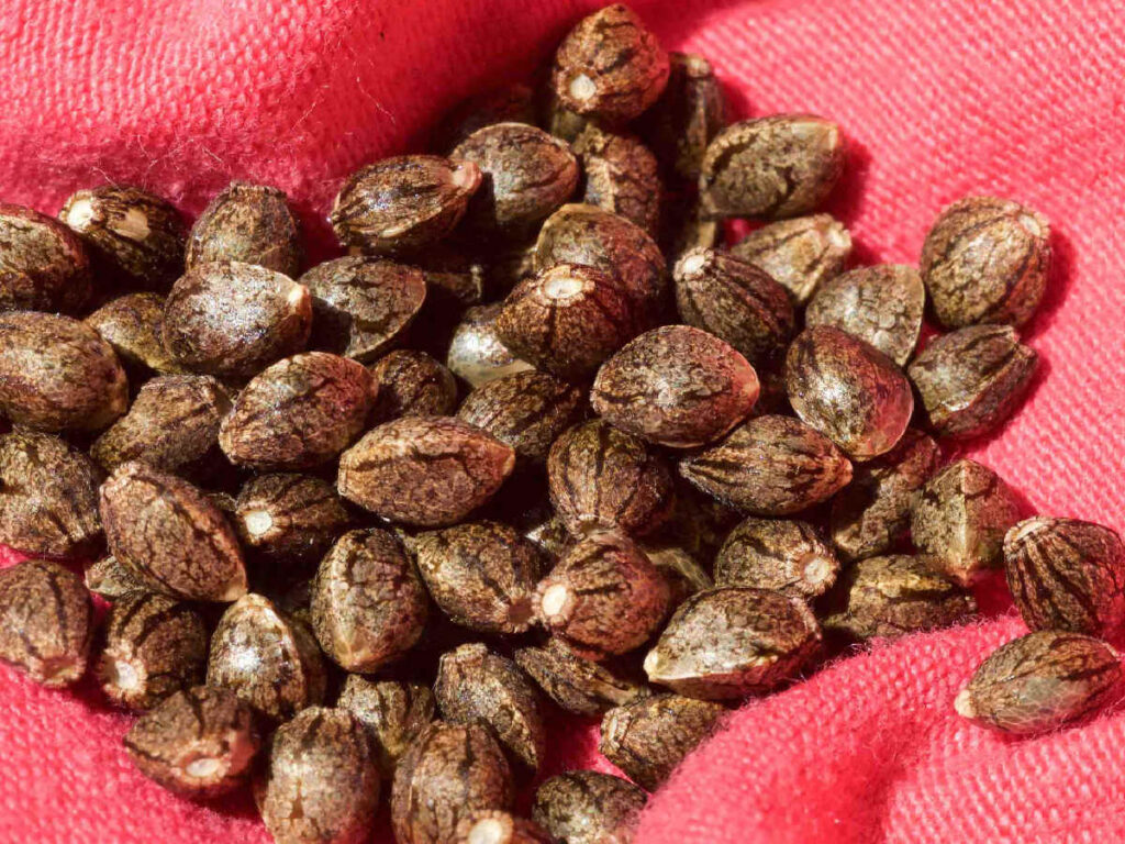 How Long Can Cannabis Seeds Be Stored? – Top 3 Methods